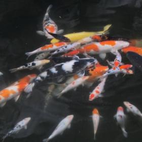 Езерото със златните рибки