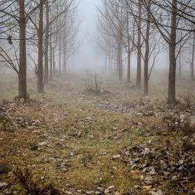 Тополи в мъглата
