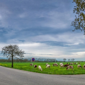 Крави, пътища, автомобили... ;)
