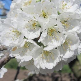 Цветовете на пролетта - череша