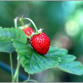 Първите ягодки