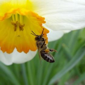 Пчела - акробат