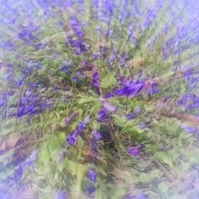 Теменужена поляна