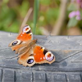 Пеперуда на гума