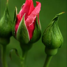 В нежно розово
