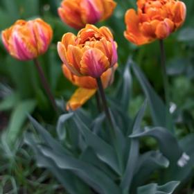 Оранжеви лалета