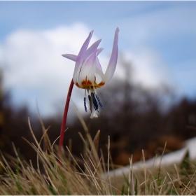 Самодивско цвете
