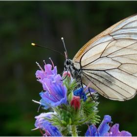 пеперудите 2 ...