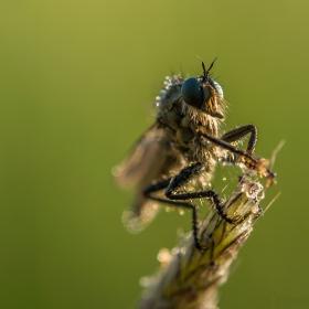 Хищна муха
