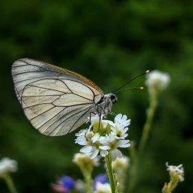 пеперудите 4 .....