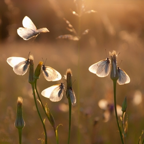 Пеперудена Среща късен следобед