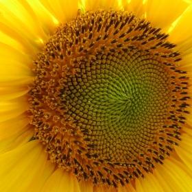 Слънчево цвете