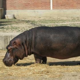 хипопотам