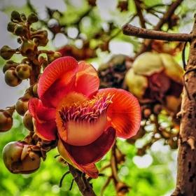 Цвят на Cannonball tree - дърво гюле