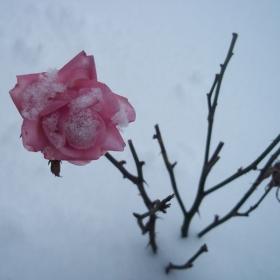 Роза в снега