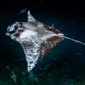 Гигант преследва риба тон на Малдивите