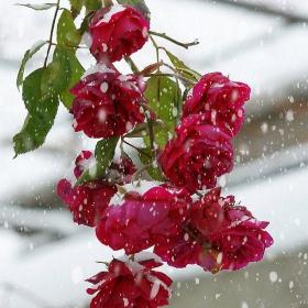 Зимни рози
