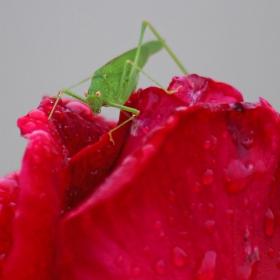 Щурче на дъждовната роза
