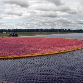 Новата реколта червени боровинки