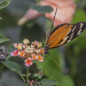 Пеперуд