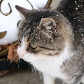 снежна котка