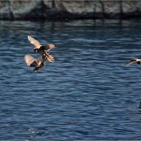 Любовни танци на средиземноморския сокол_Falco eleonorae*