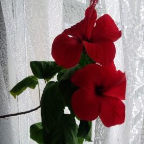 Красота за един ден: сутринта разцъфва, вечер цветът се свива и през нощта -пада...