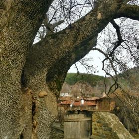 Под вековното дърво