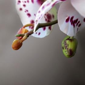 Раждането на орхидеите...