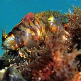 parablennius zvonimiri-Черно море