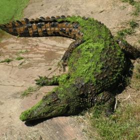 Крокодилът Гена