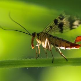 Скорпионица*Mecoptera