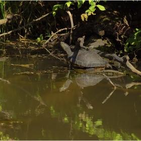 Водна костенурка