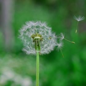 dandelion fly 2