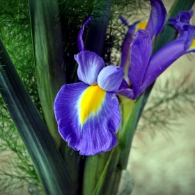 Синьо цвете