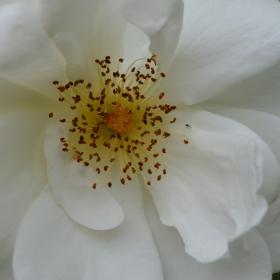 бяла нежност