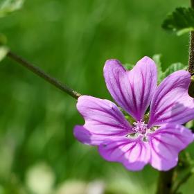 Слез -Malva vulgaris