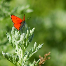 Оранжева пеперуда