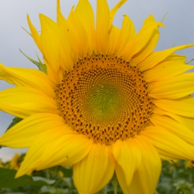 слънчоглед