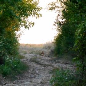 Лисица в селото