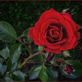 Определено розаво