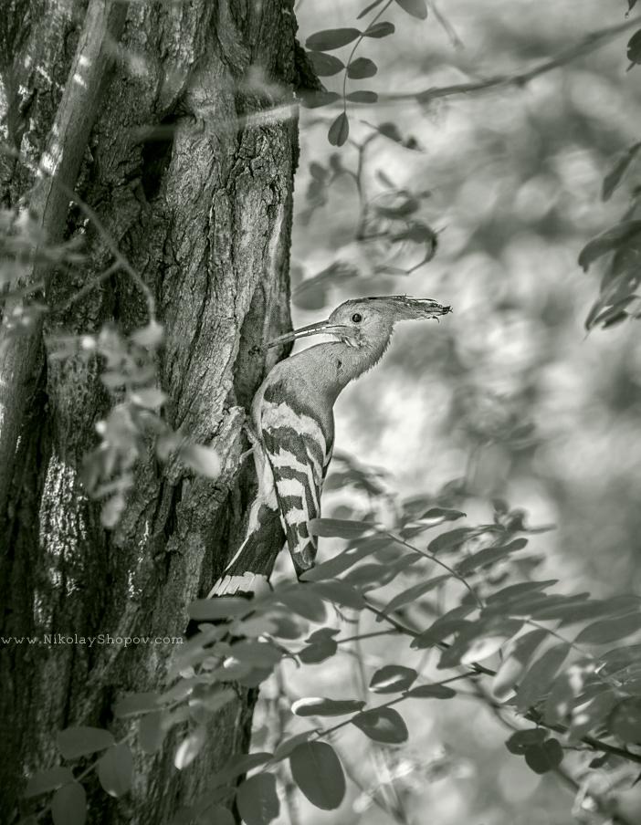 Папуняк в гората