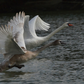 Дунавски лебеди