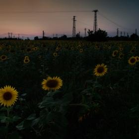 Закъснели слънчогледи