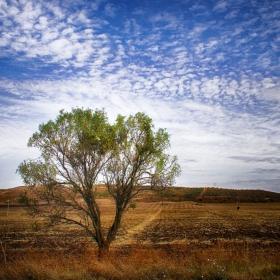 Дърво в полето