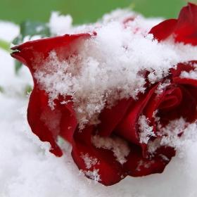 Снежна красавица