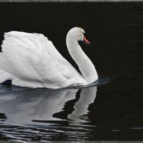 Голямата бяла птица ....  не е гъска...