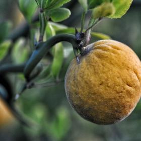 Лимончо