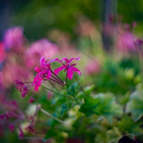 Цветенце на терасата