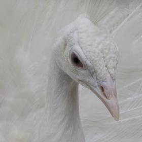 Бял паун